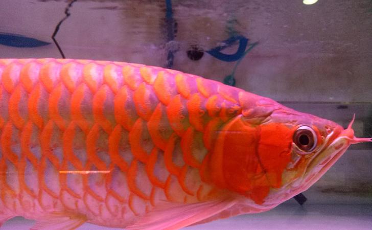 Ikan Arwana4