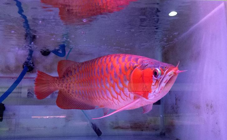 Ikan Arwana5