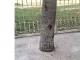Pohon Disemen Kayu