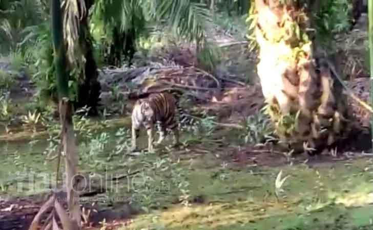 harimau Berkeliaran2