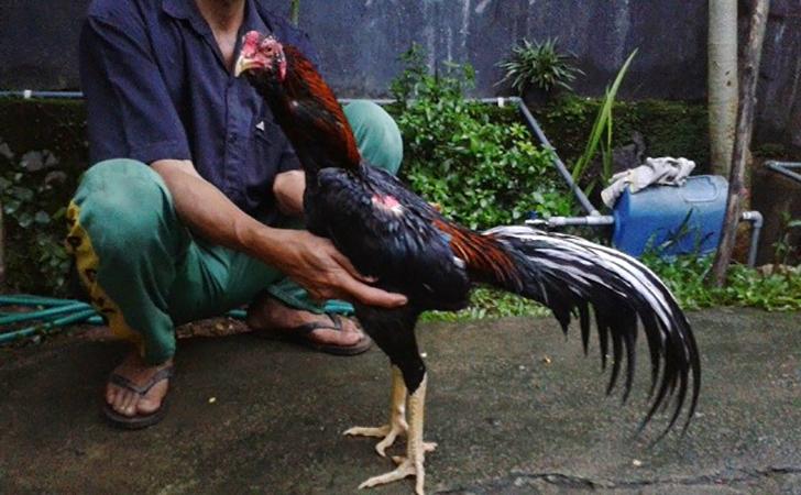 Ayam-Aduan.jpg