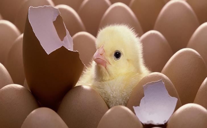 Ayam-menetas.jpg