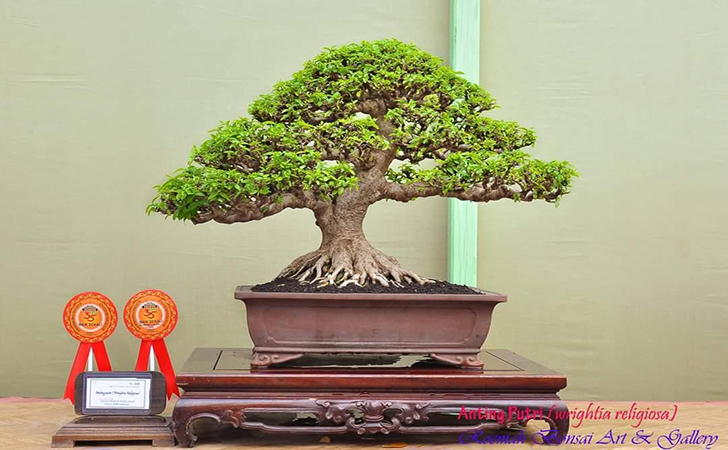 Bonsai-Anting-Putri.jpg