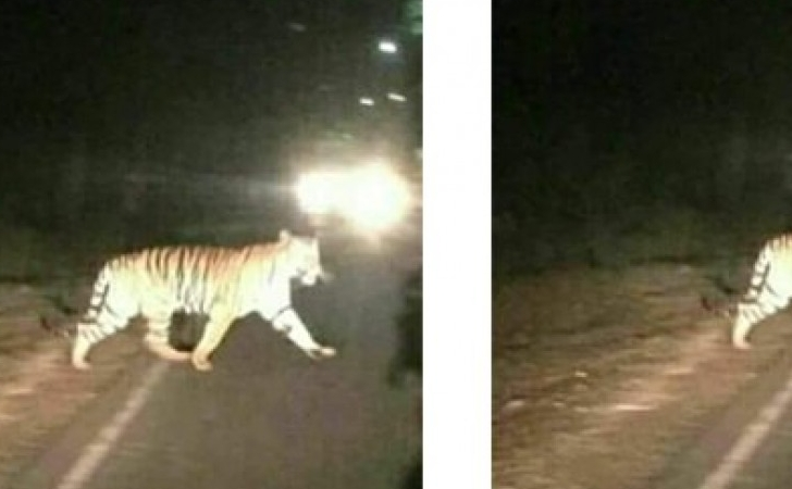 Foto-hoax-harimau.jpg