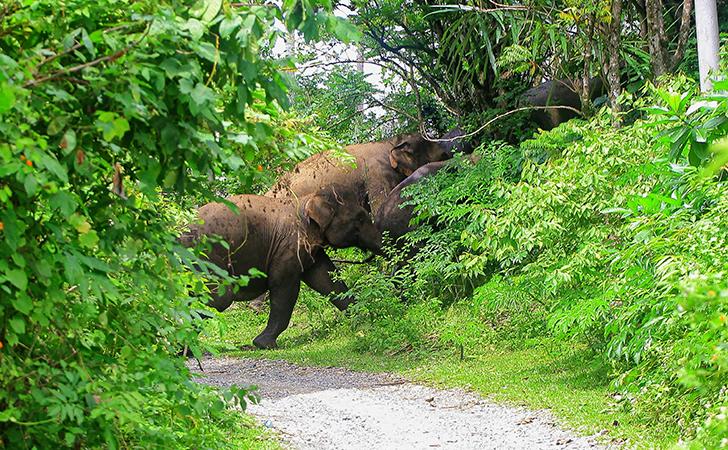 Gajah-masuk-kampung.jpg