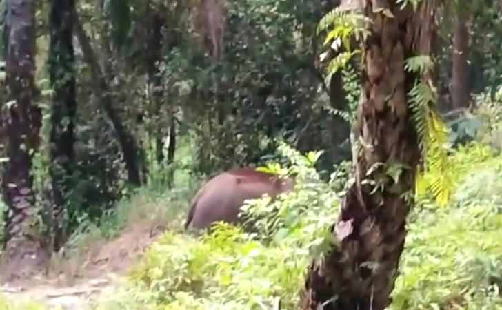 Gajah-masuk-kampung9.jpg