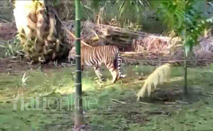 Harimau-Lalu-Lalang.jpg