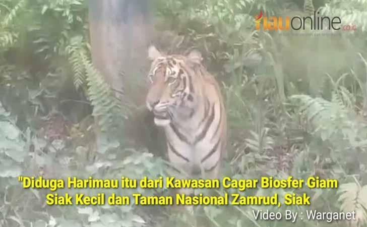 Harimau-Sumatera-di-Siak.jpg
