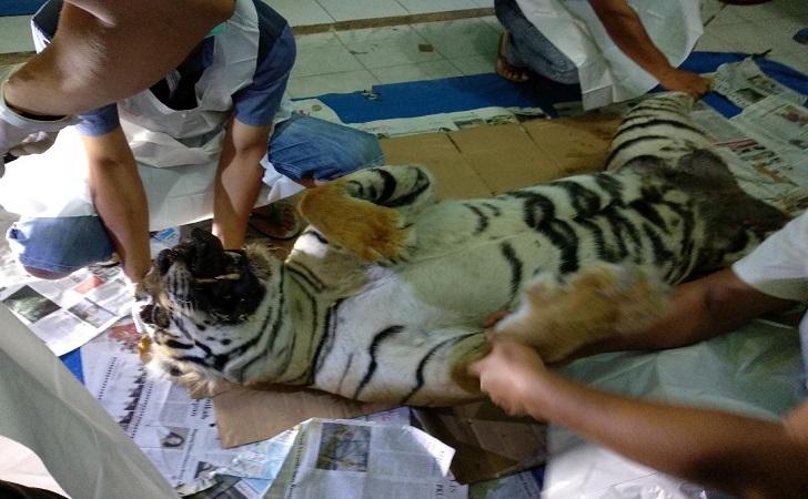 Harimau-Sumatera-yang-mati-karena-jerat.jpg