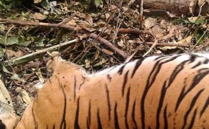 Harimau-betina-tewas.jpg
