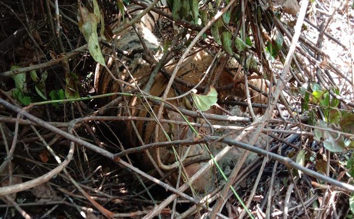 Harimau-mati-terjerat3.jpg