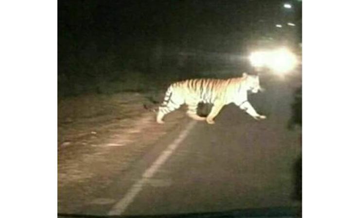 Harimau-nyebrang.jpg