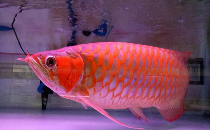 Ikan-Arwana3.jpg