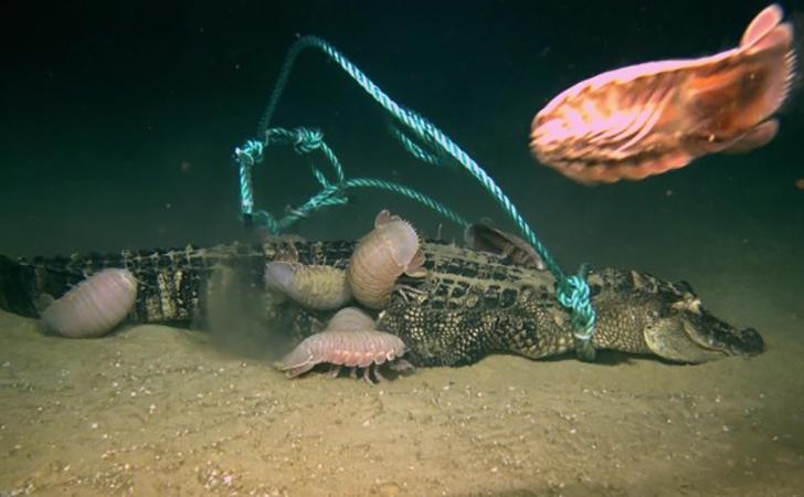 Isopoda-raksasa-memakan-bangkai-buaya.jpg