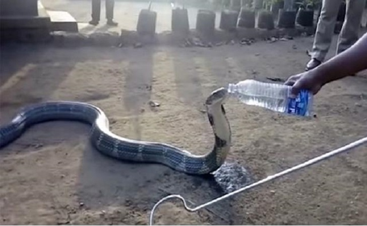 Kobra-India.jpg