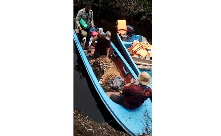 Penyelamatan-harimau-terjerat.jpg