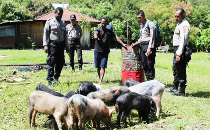 Polri-memberi-bantuan-hewan-ternak-babi-Kabupaten-Puncak-Jaya.jpg