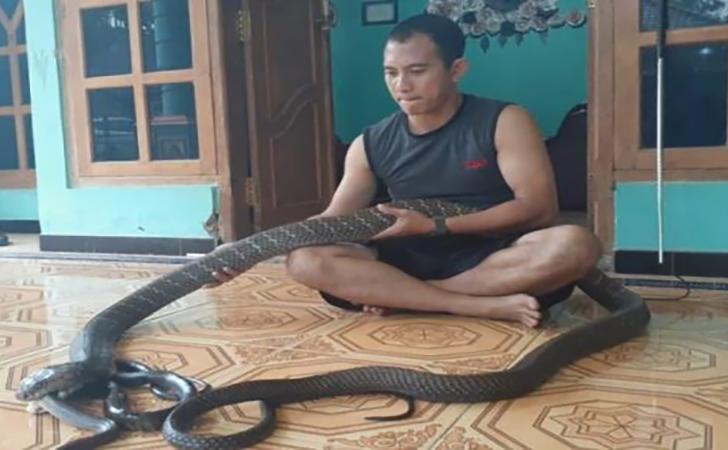 Suro-Negoro-Basuki-memberi-makan-ular-peliharaannya-jenis-king-Kobra.jpg