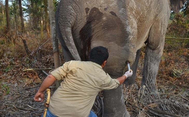 gajah-liar-sakit.jpg