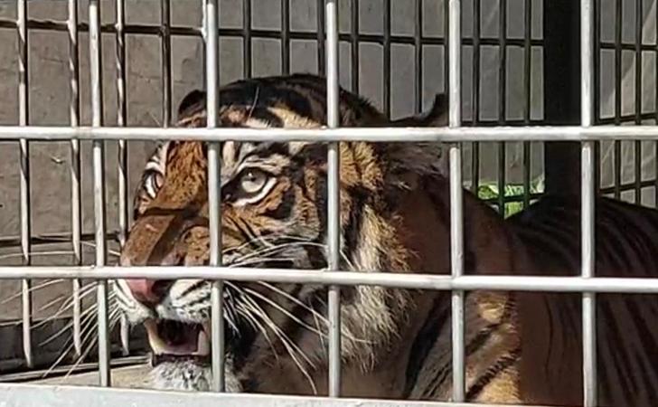 harimau-terkam-manusia4.jpg