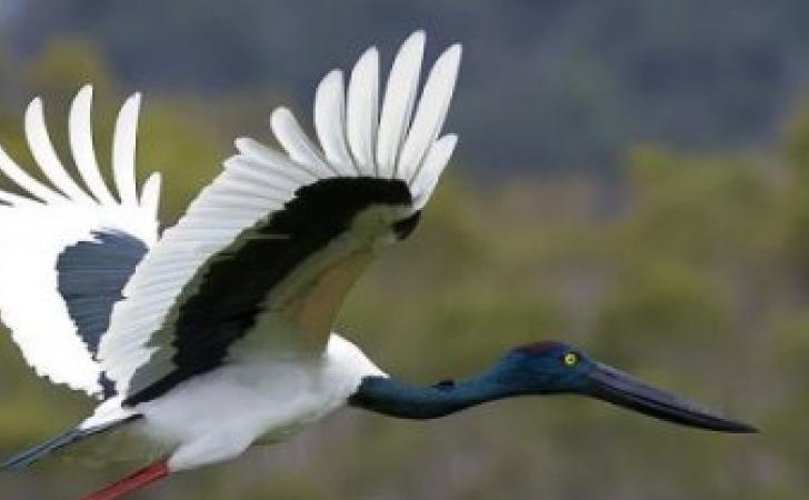 ilustrasi-burung-banagu.jpg