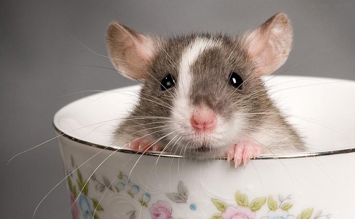 tikus-lucu.jpg