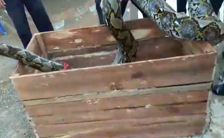 ular-piton-7-meter.jpg