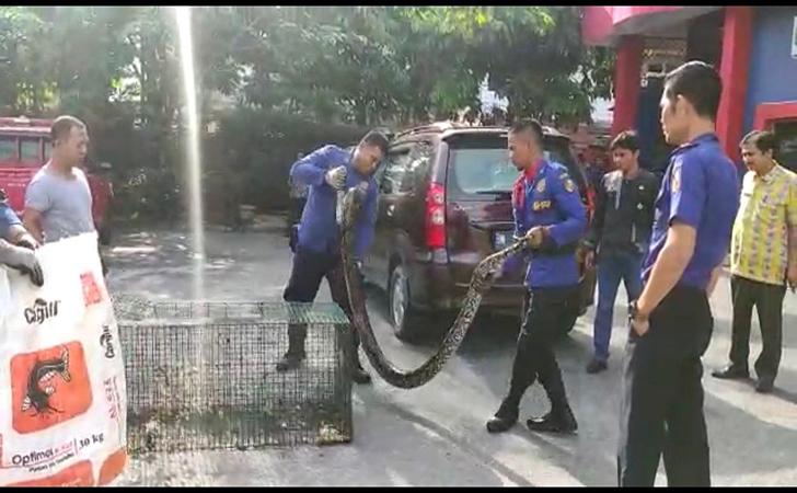 ular-piton2.jpg