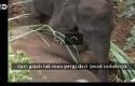 Bayi-Gajah-Ratapi-Kepergian-Induknya.jpg