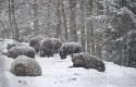 Beruang-di-Ukraina-tidak-berhibernasi.jpg