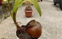 Bonsai-kelapa.jpg
