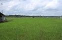 Foto-istimewa-Hamparan-padi-di-wilayah-Kecamatan-Bungaraya.jpg
