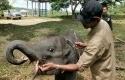 Gajah-Togar.jpg