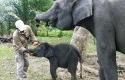 Gajah-Togar2.jpg