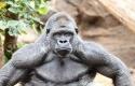 Gorilla-Silverback.jpg