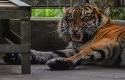 Harimau-Corina.jpg