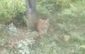 Harimau-Sumatera-di-BOP-BSP.jpg