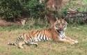 Harimau-Sumatera.jpg