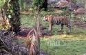 Harimau-berkeliaran1.jpg