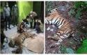 Harimau-terjerat-sling.jpg
