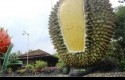 Hutan-Durian.jpg