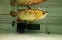 Ikan-Arwana.jpg