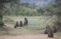 Kelompok-Primata-Babon.jpg