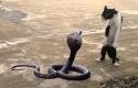 Kobra-lawan-kucing.jpg