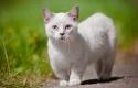 Kucing-Munchkin.jpg