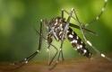 Nyamuk-Aedes-Aegypti.jpg