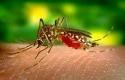 Nyamuk-Aedes-Aegypti4.jpg