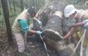 Otopsi-Gajah-Mati.jpg