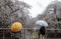 Pengunjung-melihat-bunga-sakura-mekar-dan-salju-turun-di-Tokyo.jpg