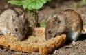 Tikus-Makan-Roti.jpg
